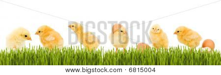 Lots Of Baby Chicken And Fresh Green Grass