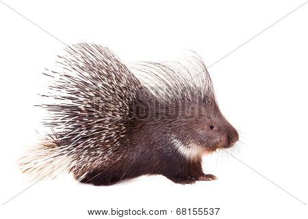 Indian crested Porcupine, Hystrix indica, isolated on white background poster
