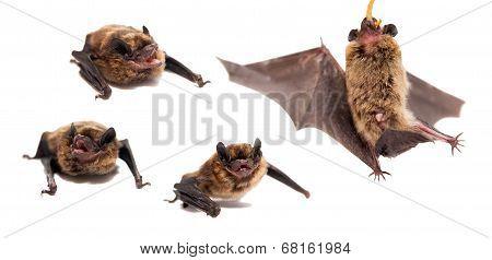 Set of Northern bat on white.