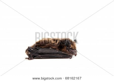 Northern bat on white.