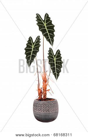 Flower In A Pot Alocasia Sanderiana