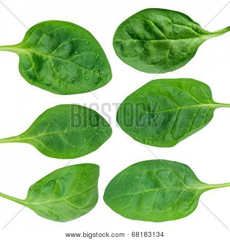 Fresh green baby spinach leaves isolated on white