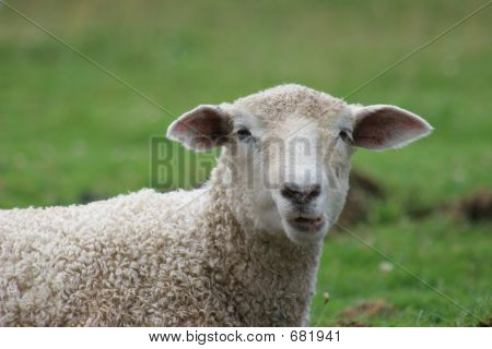 Chewing Sheep