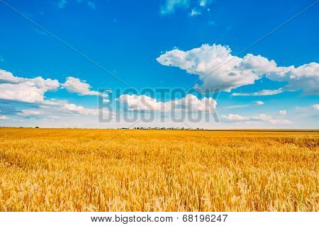 Wheat Field, Fresh Crop Of Wheat