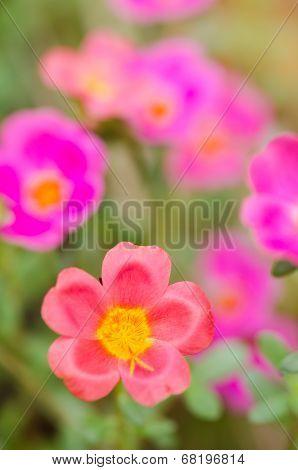 Common Purslane Or Verdolaga Or Pigweed Or Little Hogweed Or Pusley