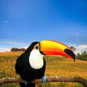 Colorful tucan in the aviary for adv or others purose use poster