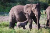 Baby elephant with his mother in the Serengeti poster