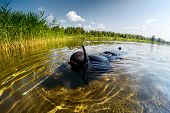 Spear fisherman in black wetsuit moving on shallow part of the lake towards reed thiket poster