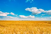 Backdrop of yellow wheat ears field on the cloudy blue sky background. Rich harvest wheat field fresh crop of wheat. poster