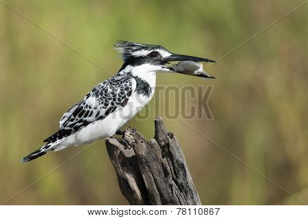 Pied Kingfisher (ceryle Rudis) Female Perched With A Fish