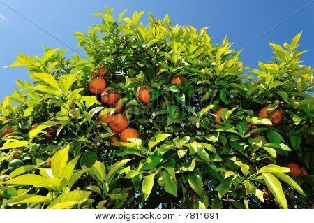Oange Tree In Ibiza Spain