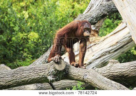 Female Bornean orangutan