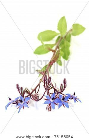 Healing Blue Borage