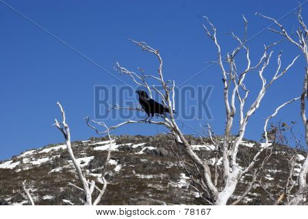 Crow sitting in a snow gum poster