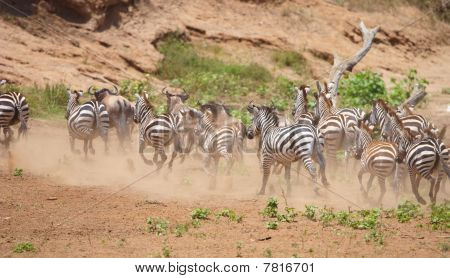 Herd of zebras (African Equids) and Blue Wildebeest (Connochaetes taurinus) running in nature reserve in South Africa poster
