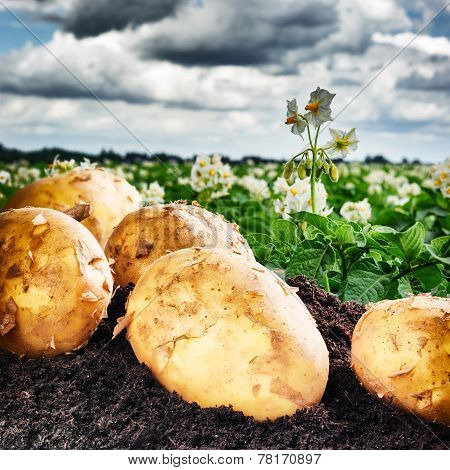Freshly dug potatoes on agricultural field with dramatic sky poster