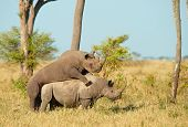 Two Large white (square-lipped) rhinoceros (Ceratotherium simum) mating in the nature reserve in South Africa poster