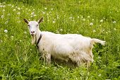 White goat standing in a green field poster