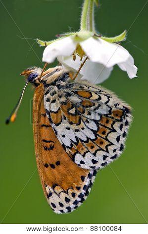 Side Of Wild Brown White Orange Butterfly