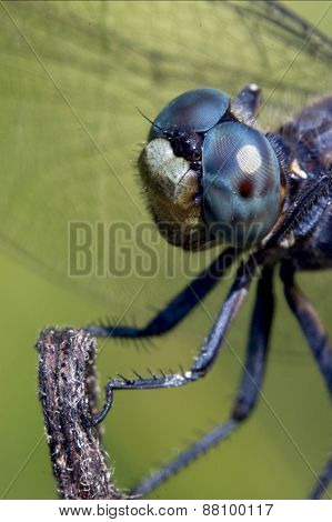 Head Of Wild Blue Dragonfly