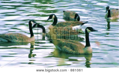 Canada Geese On Pond 2