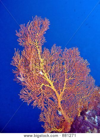 Sea Fan Coral