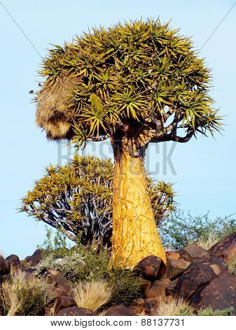 Quiver Tree with a Sociable Nest on a Rocky Hill, outside Keetmanshoop, Namibia