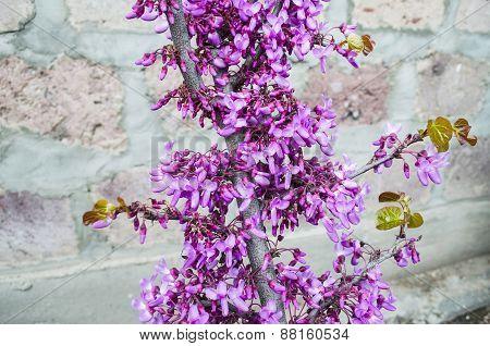 Bright flowers on Judas Tree
