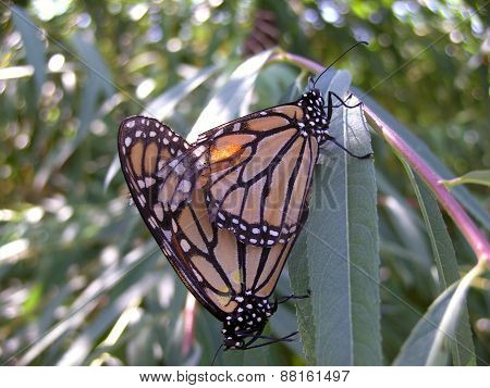 Monarch Butterflies Copulating
