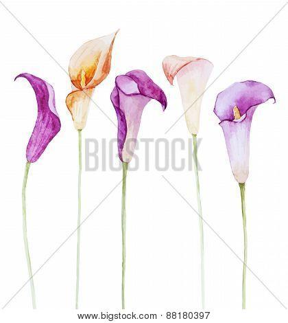 Nice watercolor calla flowers