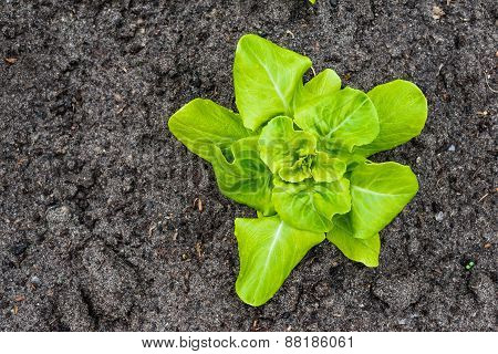 Young Butterhead Lettuce Plant From Above