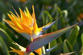 portugal paradise flower in the garden madeira poster