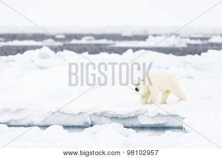 Polar Bear (Ursus maritimus) adult on floe edge