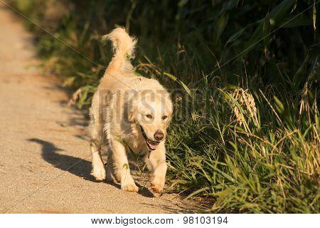 Golden Retriever On Gravel Road