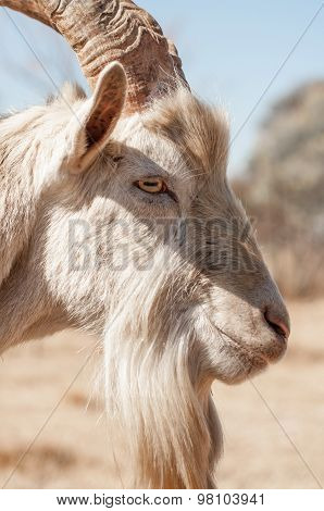 Side View Portrait Of Saanen Goat