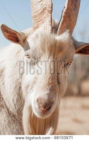 Up Close Portrait Of Saanen Goat