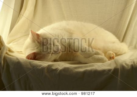 White Cat On White