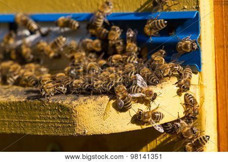 Beehive. Macro shot of bees swarming on a honeycomb