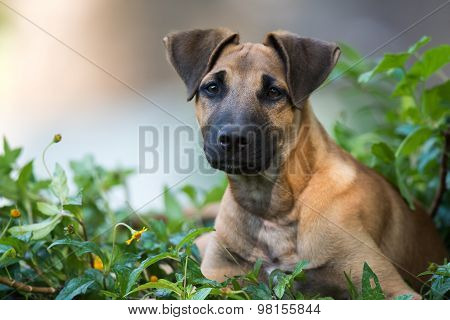 Young Great Dane Mixed Breed Sitting In A Flower Patch