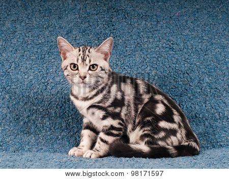 American shorthair kitten portrait