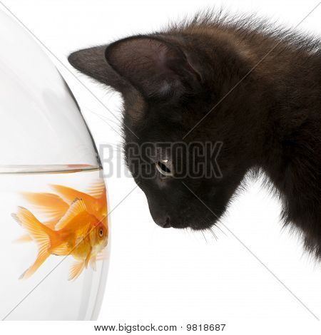 Close-up Of Black Kitten Looking At Goldfish, Carassius Auratus, Swimming In Fish Bowl In Front Of W