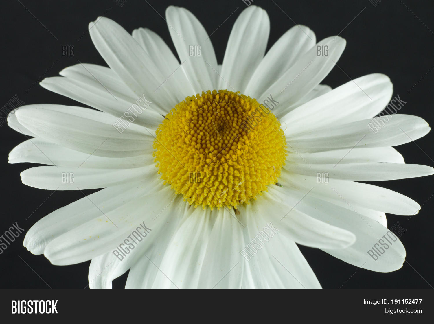 Chamomile camomile image photo free trial bigstock chamomile or camomile is the common name for several daisy like plants of the family izmirmasajfo
