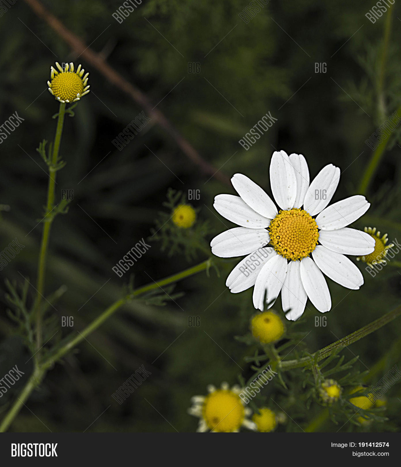 Daisy flowers pictures daisy image photo bigstock daisy flowers pictures of daisy flowers for lovers day the most wonderful natural daisies izmirmasajfo