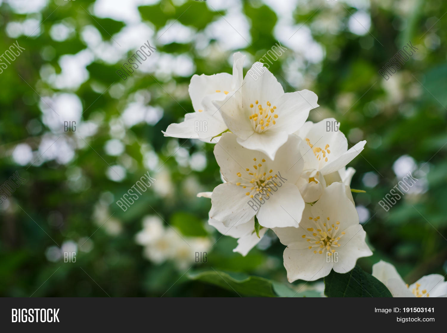 Jasmine white flowers image photo free trial bigstock jasmine white flowers and green leaves on bush in full blossom at summer park floral background izmirmasajfo
