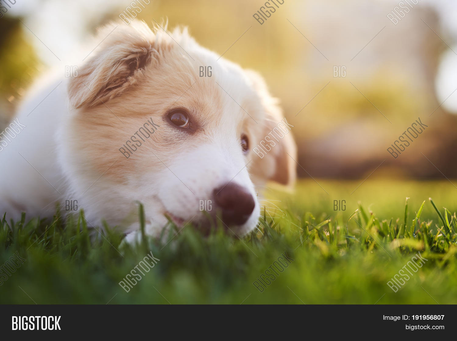 Ee Red Border Collie Image Photo Free Trial Bigstock