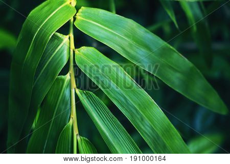 Green bamboo leaf on dark background. Bamboo leaf toned photo for spa salon design meditation wallpaper zen poster. Fresh green leaf. Tropical garden. Beauty banner. Oriental plant. Leaf decor