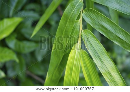 Green bamboo leaf on greenery. Bamboo leaf photo for spa salon design meditation wallpaper zen poster. Fresh green leaf background. Tropical garden. Beauty banner. Oriental plant. Foliage decor