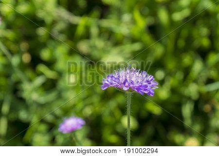 Close-up of a blooming Wild flower. View on a beautiful violet Widow Flower in Sunlight. Wild Flowers