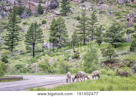 a herd of bighorn sheep licking salt from a highway in the Poudre Canyon near Fort Collins, Colorado