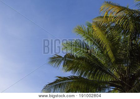 Palm tree crown with fluffy leaves on blue sky background. Palm crowns on blue sky. Palm leaf frame. Tropical vacation banner template with text place. Tropical paradise background. Fluffy leaf border
